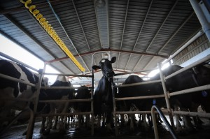 Cow at Dairy Farm (Jo-Anne McArthur/We Animals