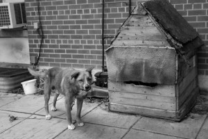 Dog chained up outside. Jo-Anne McArthur/We animals