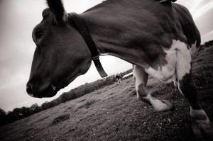 Cow saved from the dairy/veal industry