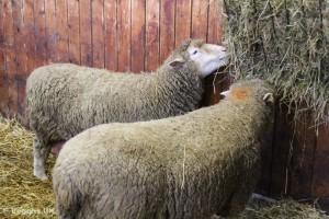 The wool industry can be very cruel