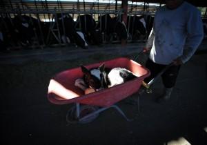 The calf is wheeled away like rubbish