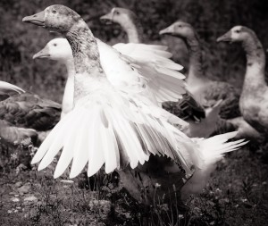 Geese who have now found sanctuary