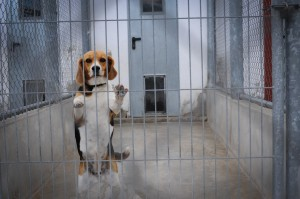 Beagles are still used in experiments