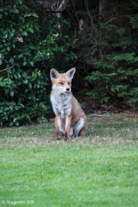Foxes can be fascinating to watch