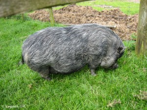 Bred to fool people - an ex 'micro pig'