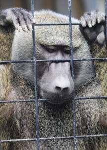 A baboon caged in a zoo